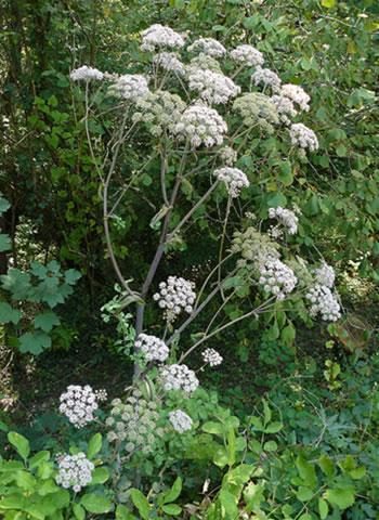 Angélique plante médicinale fleurs dans la forêt