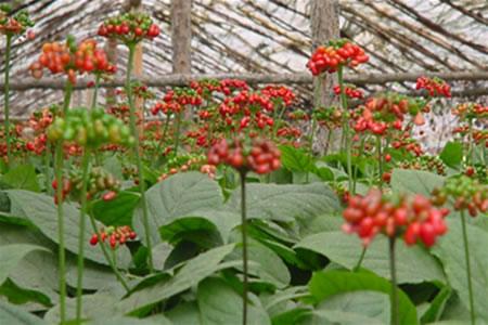 Champ de ginseng bio plante médicinale