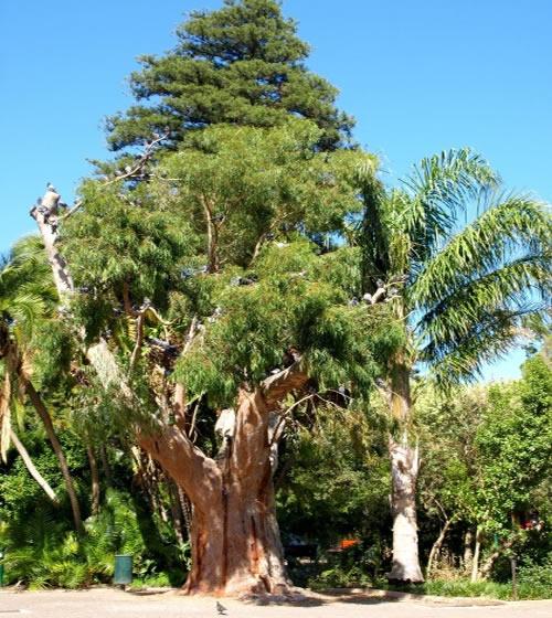 Les arbres de Eucalyptus