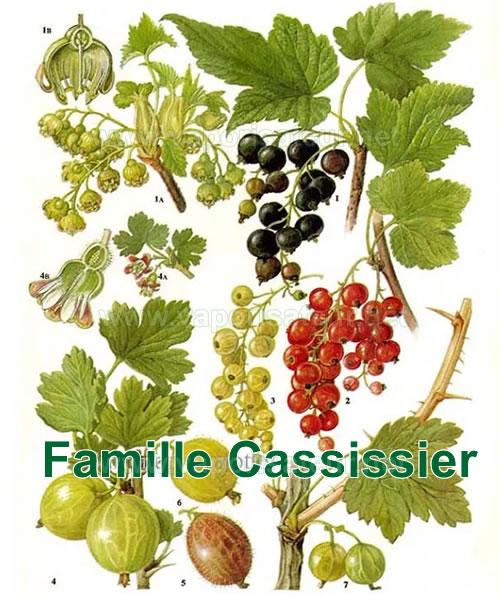 Famille Cassissier - image botanique de plante médicinale bio pour la vaporisation