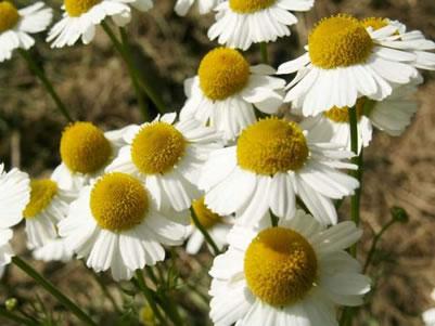 Voici les fleurs de Camomille