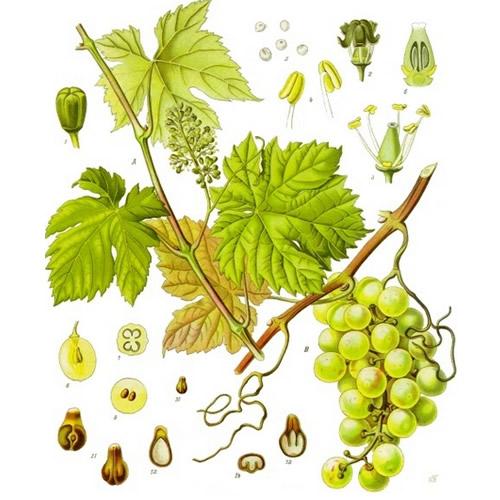 Image botanique de la vigne dont on obtient le marc de raisin bio à vaporiser-image-botanique