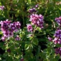 Les fleurs de la marjolaine bio plante médicinale dans le champ