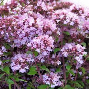 Magnifique buisson de la plante médicinale bio Marjolaine Ecocert à vaporiser