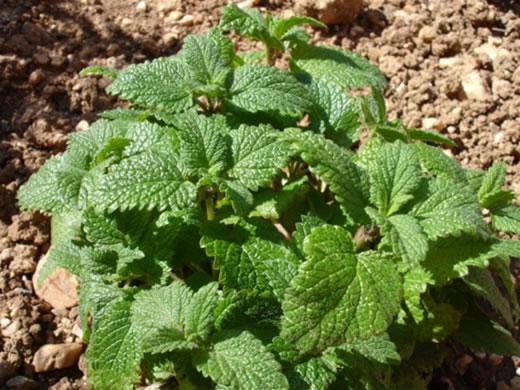 Petite mélisse bio plante médicinale dans le champ