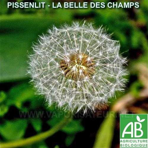 Le Pissenlit Bio bien séchée adaptée à la vaporisation saine - sans produits chimiques garanti