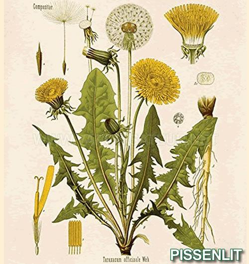 Pissenlit Bio à vaporiser présenté avec son dessin de classification botanique