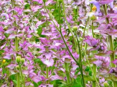 Plante médicinale sauge bio, sauge bio ecocert