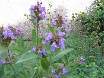 Plantes médicinales Sauge Bio, Sauge Bio à vaporiser