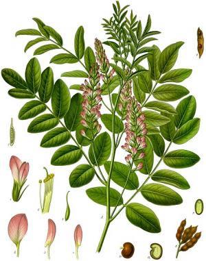 Plante médicinale Réglisse Bio représentée en botanique