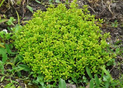 Un très beau buisson de plante médicinale thym citron bio