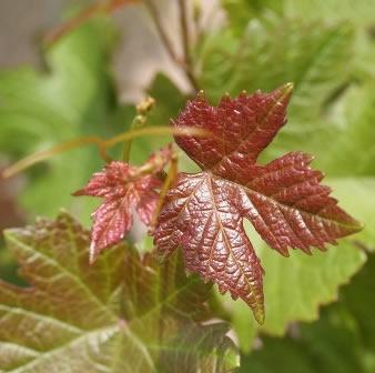 Vigne Rouge Bio feuille rouge d'automne
